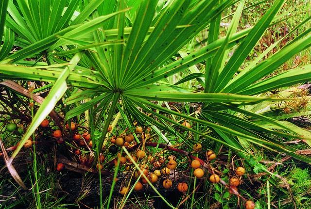 tratament pentru caderea parului palmierul pitic