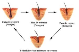 cresterea parului faze