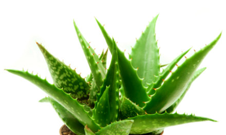 Tratarea parului cu Aloe Vera